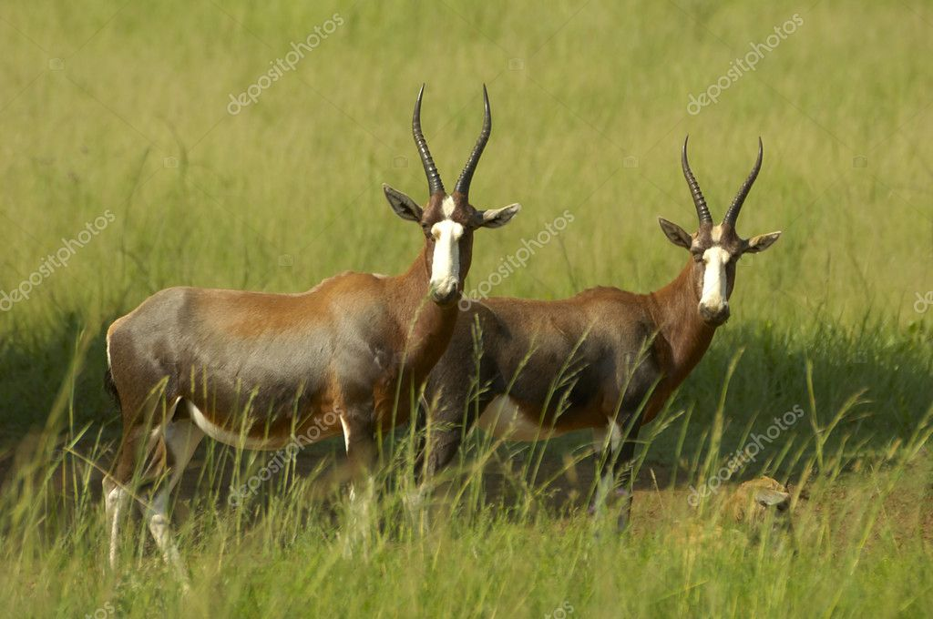 Blesbok, South Africa — Stock Photo #3002975