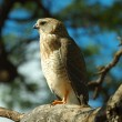 Gabar goshawk - Stock Photo