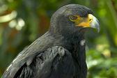 Black eagle — Stock Photo