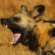 Cape wild dog — Stock Photo #3214947
