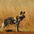 Stock Photo: Cape wild dog