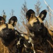 Cape wild dog — Stock Photo #3215079
