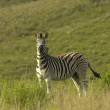 Chapmans zebra — Stock Photo #3215164