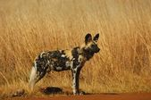Cape wild dog — Stock Photo