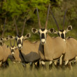 Gemsbok — Stock Photo #3274184