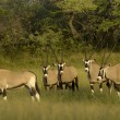 Gemsbok — Stock Photo #3274204