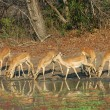 Impala drinking — Stock Photo #3274460