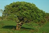 Water-berry tree — Stock Photo