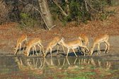 Impala drinking — Stock Photo