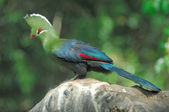 Knysna turaco — Stock Photo