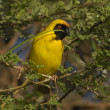 Stock Photo: Southern masked-weaver