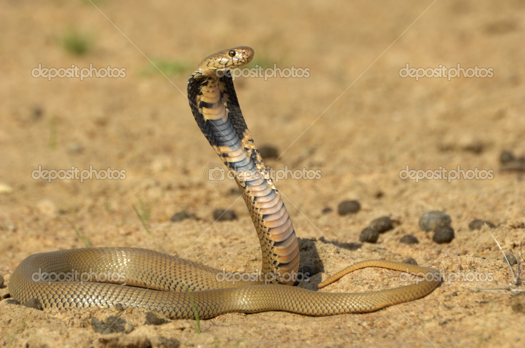 Mozambique spitting cobra — Stock Photo #3381120
