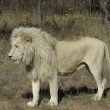 White lion — Stock Photo #3430459