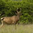 Red hartebeest - Stock Photo