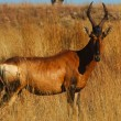 Red hartebeest — Stock Photo #3430631