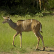 Southern Greater Kudu — Stock Photo