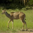 Stock Photo: Southern Greater Kudu