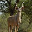 Southern Greater Kudu — Stock Photo