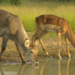 Stock Photo: Drinking time for waterbuck and impala