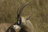 Southern Roan Antelope — Stock Photo