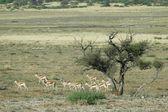 Kalahari springbok — Stock Photo