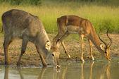 Czasu do picia dla kob śniady i impala — Zdjęcie stockowe