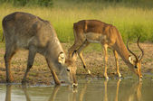 Drinking time for waterbuck and impala — Stok fotoğraf