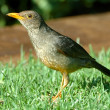 Immature kurrichane thrush — Stock Photo