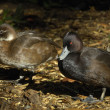 Stock Photo: Southern pochard
