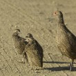 Swainson&#039;s spurfowl - Stock Photo