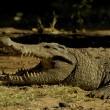 Nile crocodile — Stock Photo
