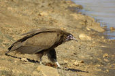 Hooded vulture — Stock Photo