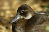 Female southern pochard — Stock Photo