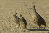 Swainson's spurfowl — Stock Photo