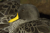 Yellow-billed duck — Stock Photo