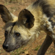 African wild dog - Stockfoto
