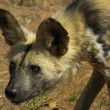 Africwild dog — Stock Photo #3886531