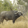 Cape buffalo (Syncerus caffer) - 