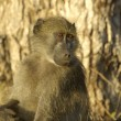 Chacma baboon - Stok fotoraf