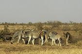 Zebra — Stock Photo