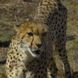 Cheetah — Stock Photo #3910482