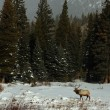 Stock Photo: Elk in winter landscape, Colorado