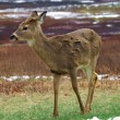 White-tailed deer (Odocoileus virginianus) — Stock Photo #3922273
