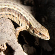 Grey lizard - Stock Photo
