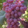 Pink cluster grapes — Stock Photo