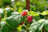 Raspberry berries on bush — Stock Photo