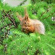 Stock Photo: Squirrel on larch