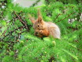 The squirrel on larch — Stock Photo