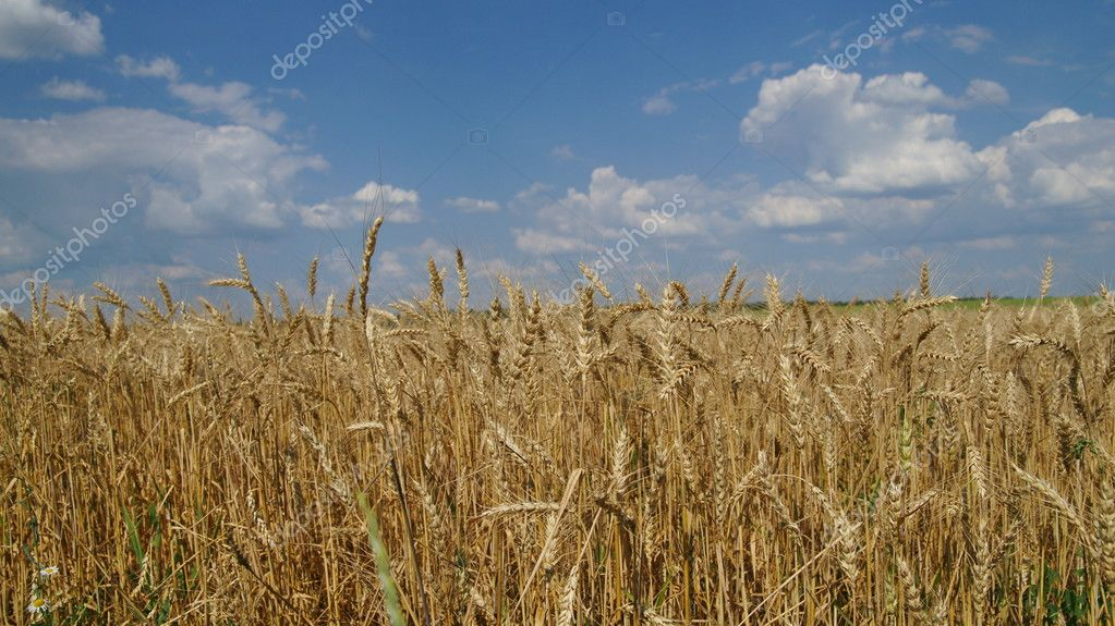 Ears of wheat against the blue sky — Stock Photo #3920554