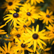 Stock Photo: Black-eyed SusFlowers